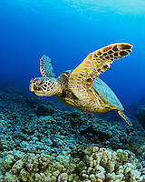 A green sea turtle (Chelonia mydas) along the Kona Coast, Big Island