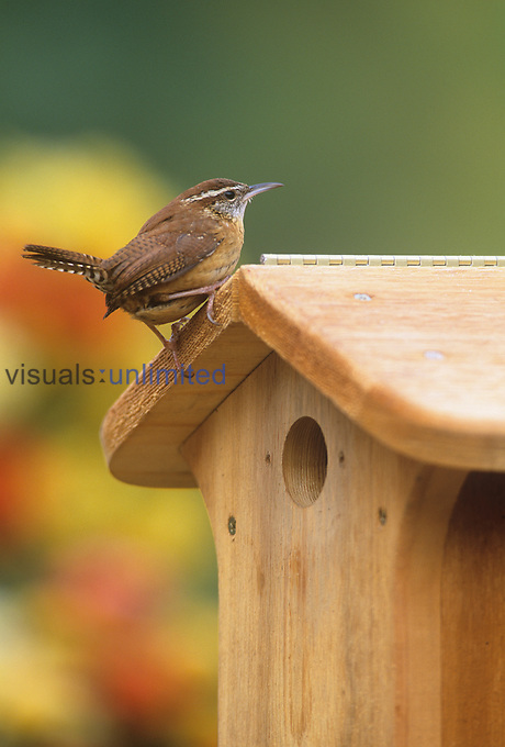 Carolina Wren at its nest box or bird house (Thryothorus ludovicianus), Eastern USA.