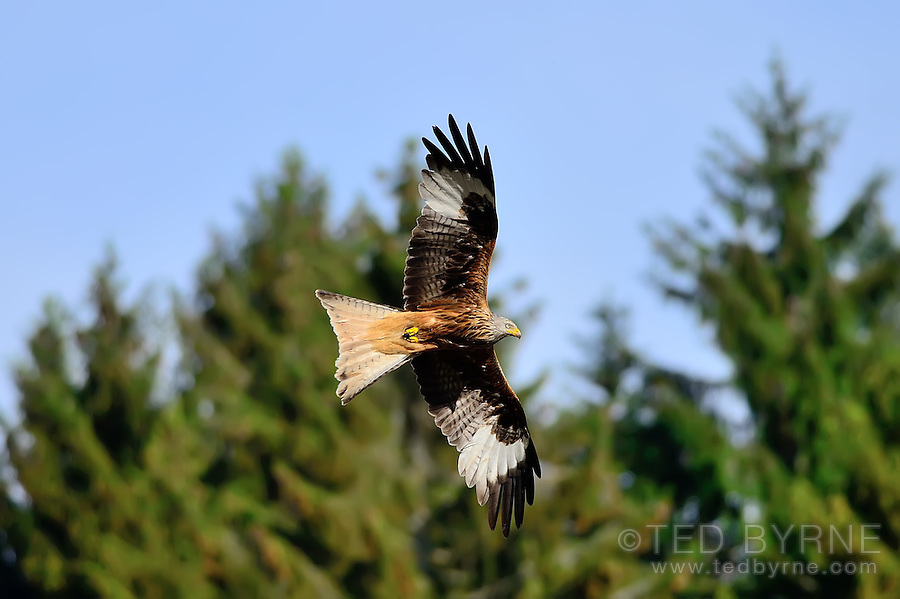 Adult Red-tailed hawk in flight with open wings