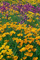 Mexican poppies and purple owl's-clover<br />
