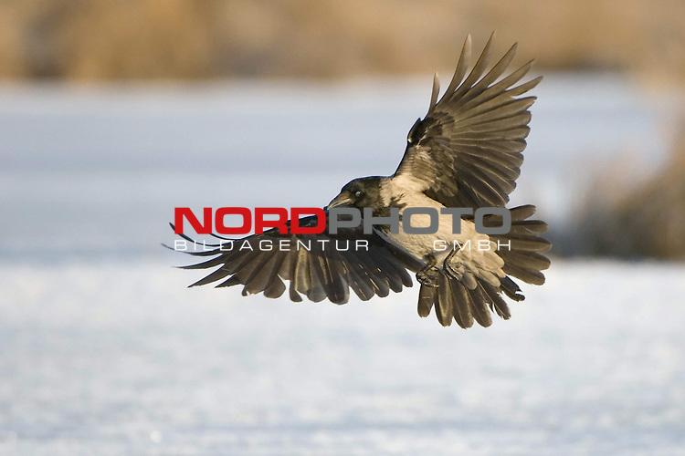 Nebelkr&scaron;he (Corvus corone cornix) fliegend bei der Landung, Eis, Winter, MŁritz Nationalpark, Rabenvogel, im Flug<br /> <br /> Foto: nordphoto *** Local Caption *** Original Naturfoto - hŲhere AuflŲsung auf Anfrage - Dig. Foto