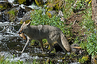 Wild Coyote (Canis latrans) catching spawning cutthroat trout in small stream.  Western U.S., June.