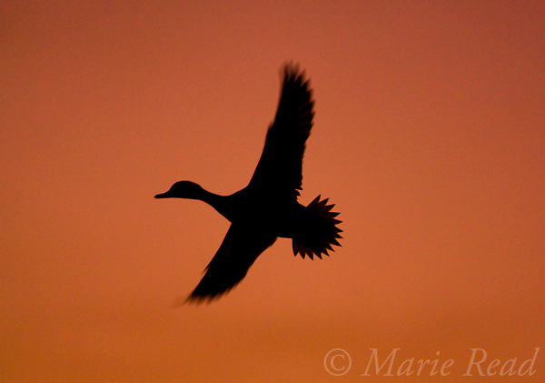 Northern Pintail (Anas acuta) silhouette in flight at sunrise, Bosque Del Apache National Wildlife Refuge, New Mexico, USA