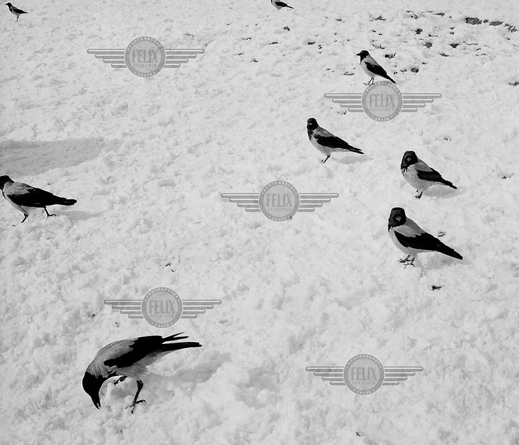 Pied crows look for food beneath a layer of snow covering a city park.