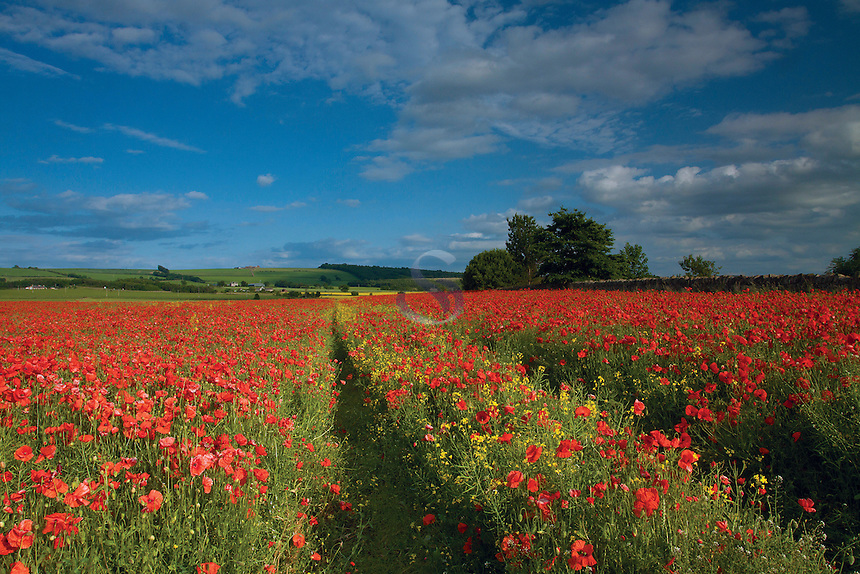 Poppy Field at Inveresk near Musselburgh, East Lothian