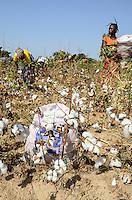 BURKINA FASO , Koumbia, women harvest cotton by hand at farm of BOGNINI BOYOUN , the cotton is sold to SOFITEX company / Frauen ernten Baumwolle per Hand auf der Farm von BOGNINI BOYOUN, die Baumwolle wird an die SOFITEX verkauft