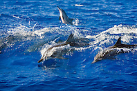 Hawaiian spinner dolphins, Stenella longirostris longirostris, wave-riding, Kona Coast, Big Island, Hawaii, Pacific Ocean