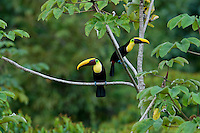 Chestnut Mandible or Swainson's Toucan (Ramphastos swainsonii), Male and Female pair