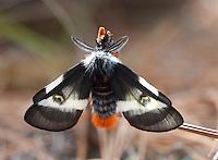 Buck Moth; Hemileuca maia; male resting; NJ, Wharton State Forest