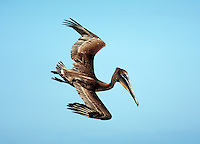 Brown Pelican, immature, diving. Birds feeding. Sanibel Island Florida.