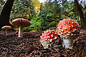 Fly Agaric {Amanita muscaria} growing in coniferous woodland. Peak DIstrict National Park, Derbyshire, UK. October.