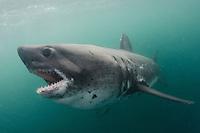 Salmon Shark, Lamna ditropis, Port Fidalgo, Prince William Sound, Alaska, North Pacific Ocean.