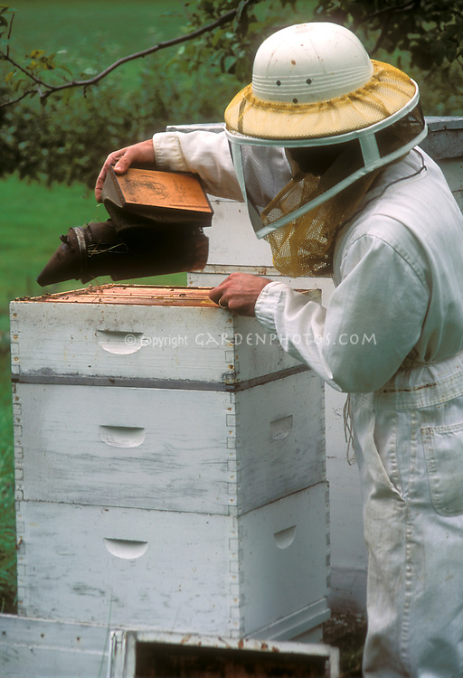 Beekeeping hive techniques: beekeeper in protective garb smoking beehive once top is removed, Langstroth beehive with frames