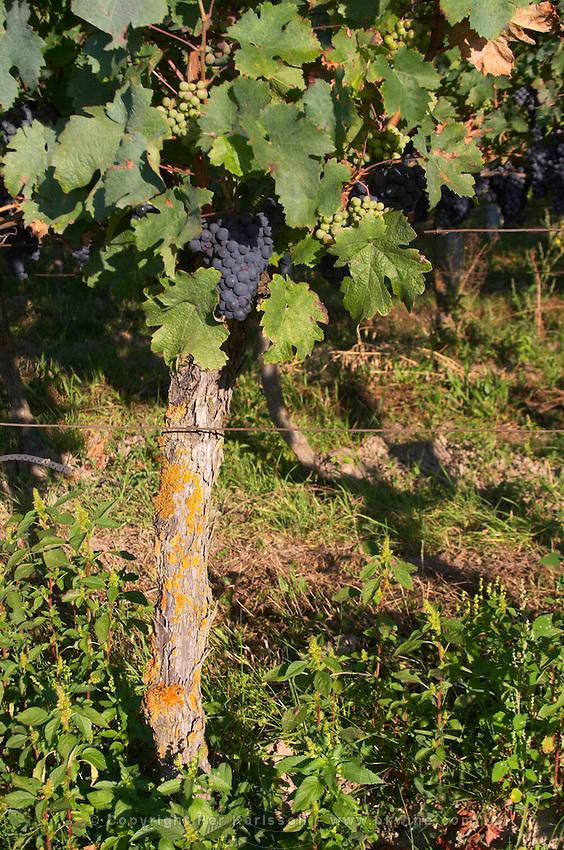Old vine. Cabernet franc. Domaine des Roches Neuves, Saumur Champigny, Loire, France
