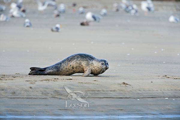Harbor seal (Phoca vitulina) on sandy beach.  Along California Coast.