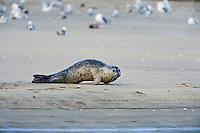 Harbor seal (Phoca vitulina) on sandy beach.  Along California Coast.