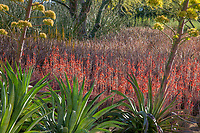 red flowering Aloe 'Blue Elf' Sunnylands garden, Southern California
