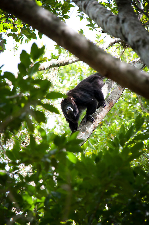 Howler monkeys at the Mayan ruins of Clakmul, Campeche, Mexico