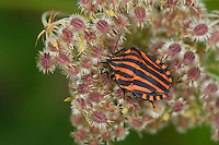 Streifenwanze, Streifen-Wanze, Graphosoma lineatum, Italian Striped-Bug, Striped-Bug, Minstrel Bug