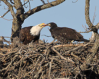 Adult bald eagle feeds the eaglet in the Llano, TX nest.