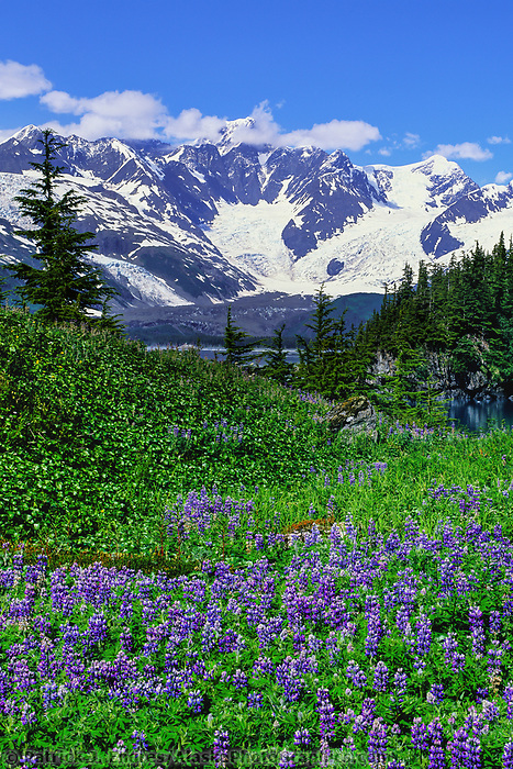 Field of Arctic lupine wildflowers, Harriman Fjord, Chugach mountains, Prince William Sound, Alaska