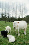 Goats. Tinker's Bubble, Low impact community,  Somerset