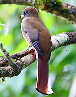 Female collared trogon