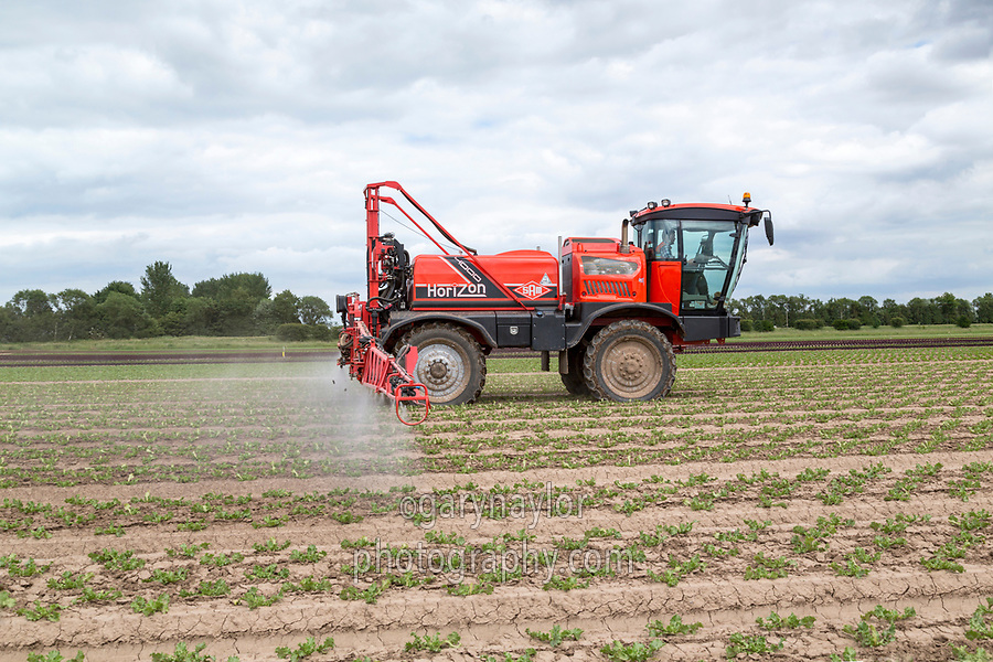 Spraying lettuce- Lincolnshire, June