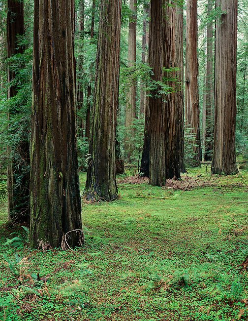 Founder's Grove; Humboldt Redwoods State Park, California