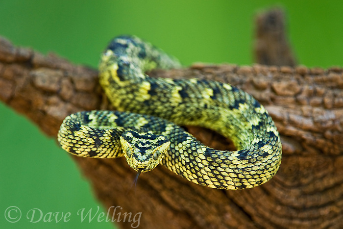489550004 a captive usambara mountains eyelash bush viper atheris ceratophora sits coiled on a tree stump species is newly recorded and native to the usambara mountains of tanzania