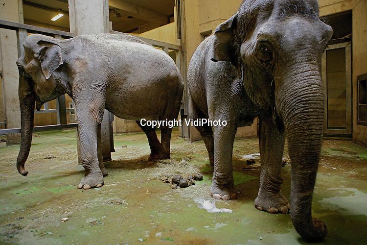 Foto: VidiPhoto..ARNHEM - In Burgers' Zoo in Arnhem verblijven op dit moment twee ernstig verwaarloosde en uitgedroogde olifanten die in beslag genomen zijn door de Duitse overheid. Die verzocht het Arnhemse dierenpark om de Aziatische dikhuiden op te vangen. Die dieren komen uit een circus waar ze nauwelijks eten en drinken kregen. De komende tijd krijgen ze in Burgers' extra medische zorg en aandacht. De Duitse justitie besluit nog waar de dieren uiteindelijk terecht komen.