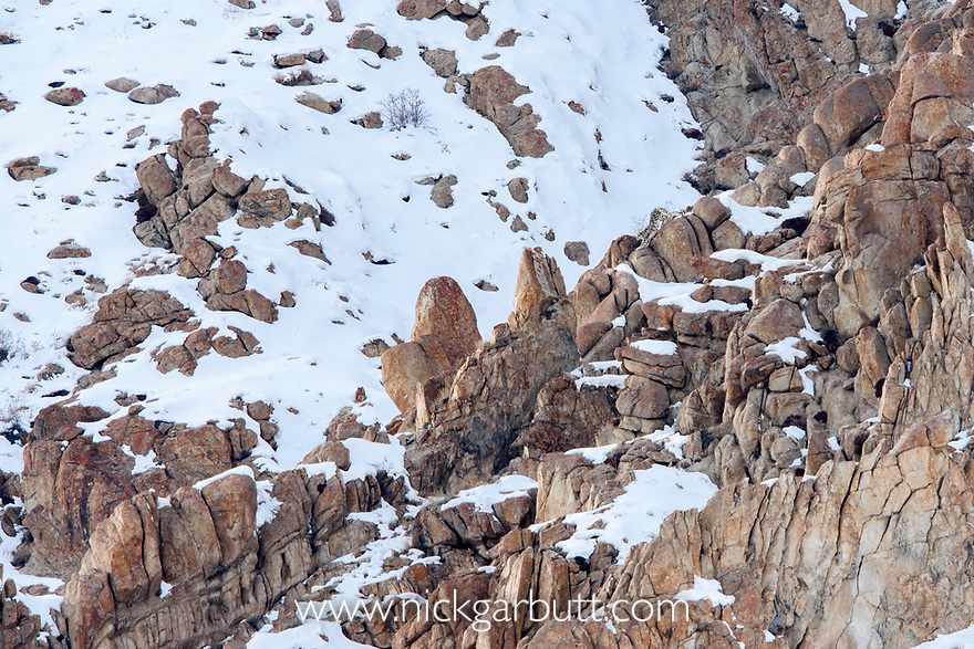 Male snow leopard (Panthera uncia) (formerly Uncia uncia) stretching on a rocky outcrop. Ulley Valley, Himalayas, Ladakh, India.