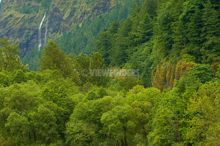 Forest in the Columbia Gorge, Oregon