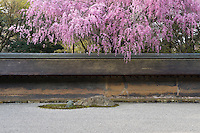 A cherry tree in full bloom hangs over the low wall which surrounds the Ryoan-Ji Temple garden