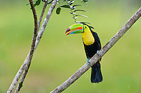 Wild Keel-billed Toucan (Ramphastos sulfuratus), also known as Sulfur-breasted Toucan or Rainbow-billed Toucan.  Found from southern Mexico south through Central America into northern South America.  This photo was taken in the rain in Costa Rican lowland, tropical rainforest.