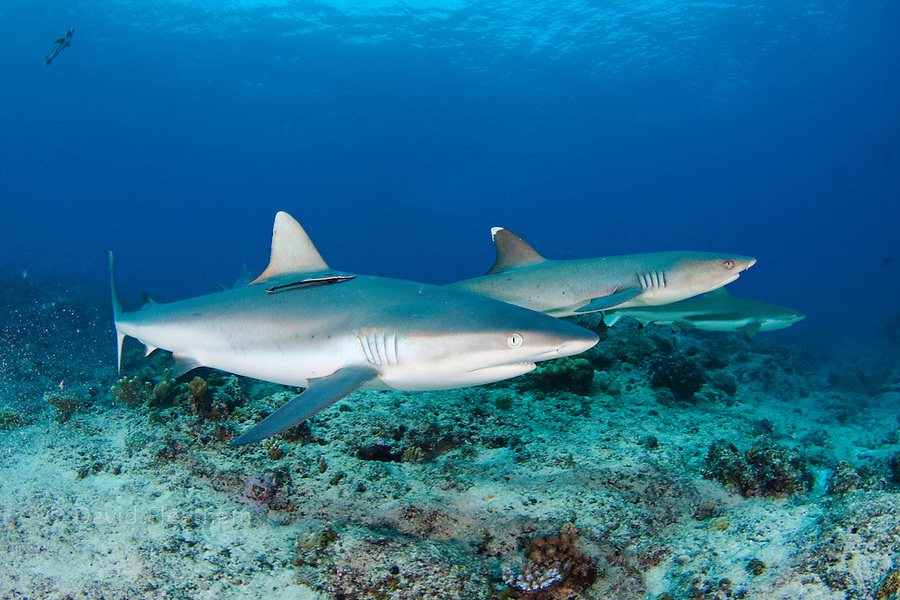 Three species of sharks are pictured here in the same frame.  A gray reef shark, Carcharhinus amblyrhynchos, is in the foreground with a whitetip reef shark, Triaenodon obesus, behind it and finally a blacktip reef shark, Carcharhinus melanopterus. Mana Island, Fiji.