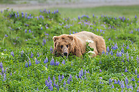 Coastal brown bear in a field of lupine wildflowers, Katmai National Park, Alaska Peninsula, southwest Alaska.
