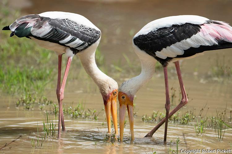 Painted Stork, Mycteria leucocephala, Wilpattu National Park, Sri Lanka, pair fishing together at waters edge, working together