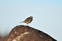 Savannah Sparrow perched on a rock at Cape Spear, Newfoundland, Canada