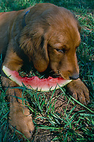 Golden retriever-Joe<br />