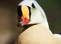 male King Eider in breeding plumage