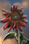 USA, California, Black Hybrid sunflower blowing in the wind at dusk