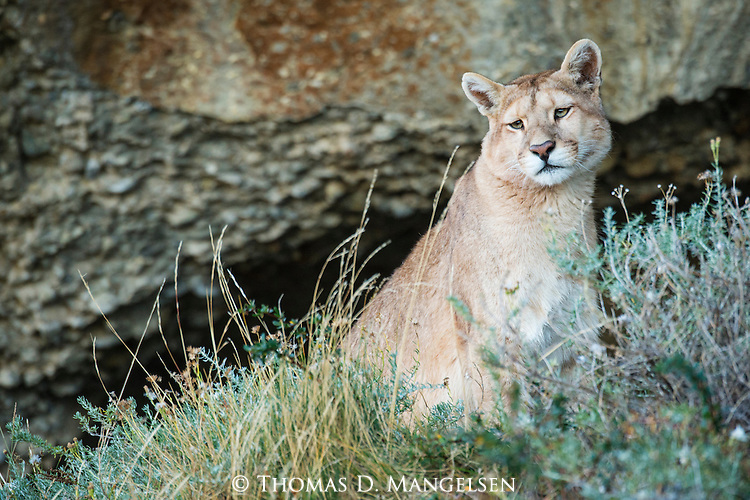 A Puma looks out from its perch on a hillside in Patagonia, Chile.