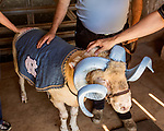 July 31, 2017. Chapel Hill, North Carolina.<br /> <br /> (left to right) Ginger Holler,  Don Basnight  and Ryan McGee pet Rameses the Ram in the barn where he lives. <br /> <br /> Don Basnight is one of the members of the Hogan family who have long been the caretakers of Rameses the Ram. The current Rameses is the 21st in the line of the University of North Carolina's live mascot.