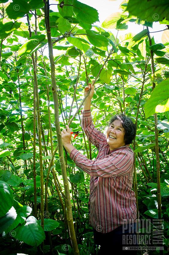 Kapa making on the Big Island: Master kapa maker Roen Hufford prunes side branches from the poa'aha wauke.