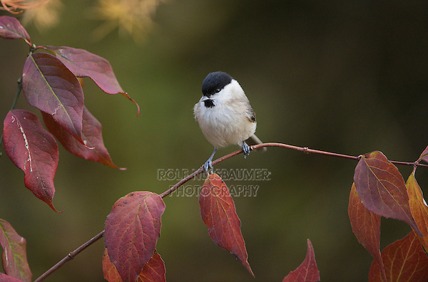 Marsh Tit (Poecile palustris), adult perched on autumn branch, Oberaegeri, Switzerland, Europe