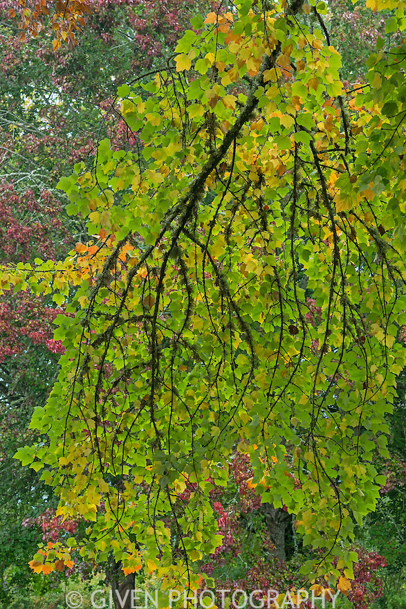 Sugar Maple tree in autumn