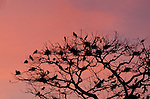 Dozens of Frigate birds (Fregata magnificens), nest in a tree on Pacheca Island, Las Perlas archipelago, Panama, Central America