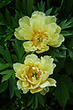 Unknown yellow peony, early June.