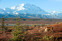 Bull Caribou feeding on willows and dwarf birches during fall foliage with Mount McKinley in the distance.g